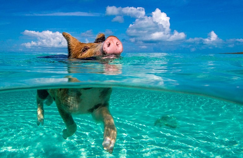 Swimming pig in the Bahamas, perfect charter bahamas