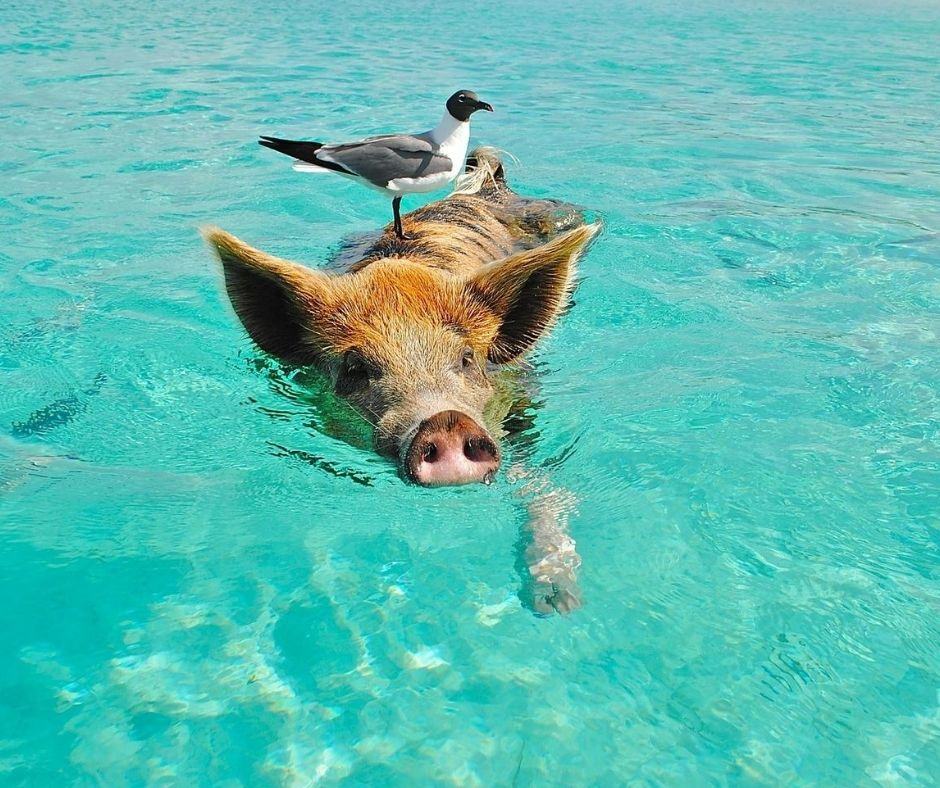 Peculiar water pigs in Bahamas