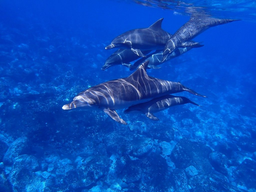 dolphins in water. boating trips to see dolphins. dolphin tours. ocean with dolphins