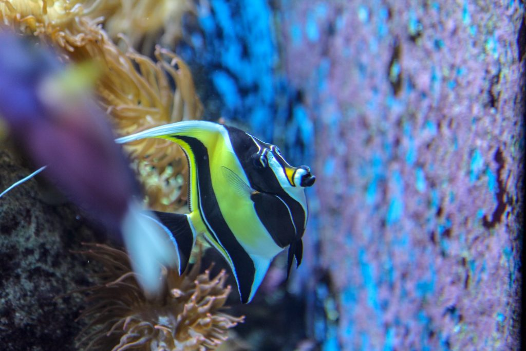 Angelfish - one of the species you can see while snorkeling at the Sea Gardens in Florida Keys